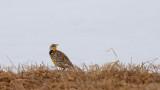 Sturnelle des prés_Y3A0836 - Eastern Meadowlark