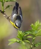 Paruline à tête cendrée_Y3A2897 - Magnolia Warbler