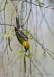 Paruline à gorge noire_Y3A3690 - Black-throated Green Warbler