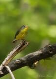 Paruline du Canada (f)_Y3A3948 - Canada Warbler