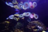 Anemones in Lisbon Oceanarium