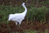 Banded Whooping Crane