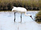 Whooping Crane Caught A Crab
