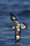 Fulmars, Petrels and Prions