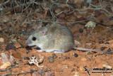 Desert Short-tailed Mouse