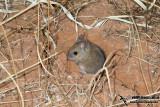 Plains Mouse
