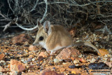 Fat-tailed Dunnart