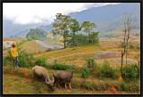 Herding buffaloes.