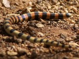 Variable Sandsnake