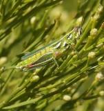 Grasshopper's