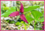 Nodding or Red Trillium