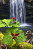 Campbell Run falls with Trillium