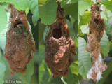 Flowerpecker, Scarlet-backed (nest stages) @ SBG