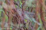 Warbler, Lanceolated @ Seletar