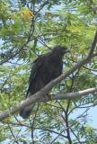 Eagle, Changeable Hawk (dark morph) @ NTL2