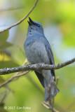 Flycatcher, Pale Blue @ Doi San Ju