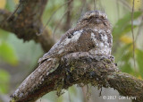 Frogmouth, Hodgson's (male on nest) @ Doi San Ju