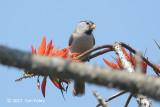 Parrotbill, Grey-headed @ Doi San Ju