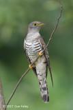 Cuckoo, Indian (male) @ Bidadari