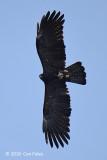 Eagle, Black @ Ngoc Linh