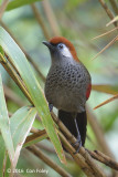 Laughingthrush, Red-tailed