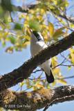 Shrike-babbler, White-browed @ Ngoc Linh