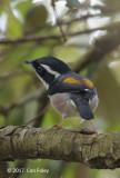 Shrike-babbler, White-browed @ Da Lat
