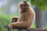 Gibbon, Buff-cheeked (female) @ Cat Tien