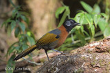 Laughingthrush, Collared @ Da Lat