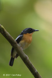 Flycatcher, Rufous-chested (male)