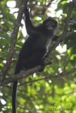 Raffles' Banded Leaf Monkey