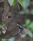 Sunbird, Copper-throated (male) @ SBWR