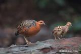 Partridge, Ferruginous @ Bukit Tinggi