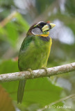 Barbet, Fire-tufted (female) @ Telecom Loop