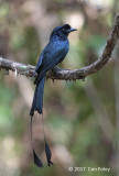 Drongo, Greater Racket-tailed @ Di Linh