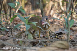 Mousedeer, Lesser @ Bach Ma