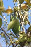 Leafbird, Orange-bellied (female) @ Mang Den