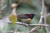 Sunbird, Black-throated (male) @ Mang Den