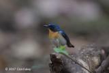 Flycatcher, Tickell's Blue (male) @ Cat Tien