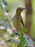 Spiderhunter, Yellow-eared