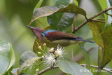 Sunbird, Red-throated