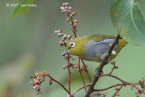 White-eye, Everett's @ New Road