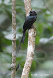Drongo, Greater Racket-tailed @ Old Road
