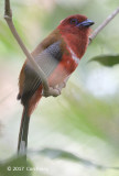 Trogon, Red-headed @ Jalan Air Terjun