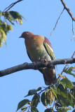 Pigeon, Cinnamon-headed Green (male)