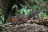 Red-cheeked Squirrel @ Vietnam