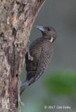 Woodpecker, Buff-necked (female)