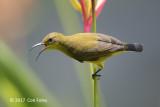 Sunbird, Olive-backed (female) @ SBG