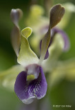 Obama Orchid