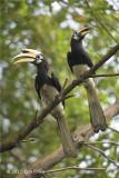 Hornbill, Oriental Pied (pair) @ Bidadari